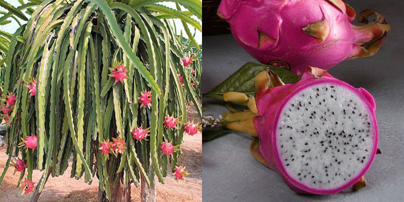 Dragon Fruit or Pitahaya