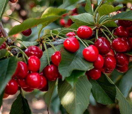 Cherry Jubilee $45 (2 1/2 lbs cherries)